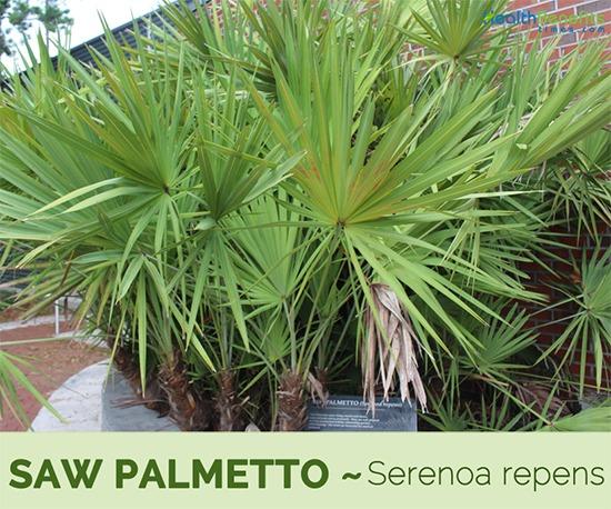 Saw palmetto alta calidad en VIPELIN