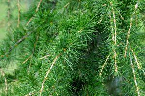 aceite esencial de cedro para el pelo